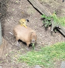 What capybaras taught me about parenting